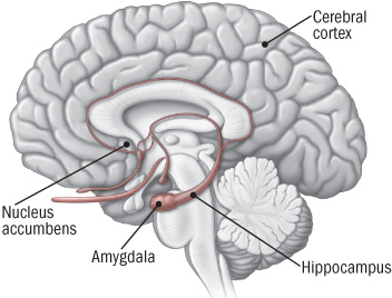 location of the nucleus accumbens