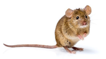 infection in mouse leads to behavioral changes in later generations