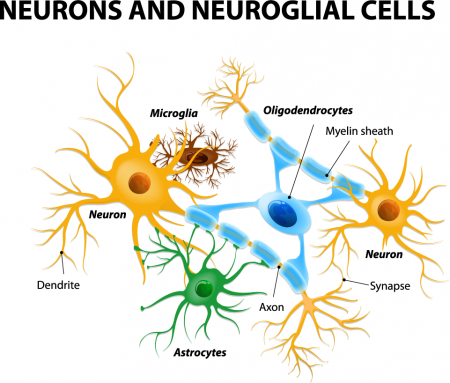 neurons and neuroglial cells